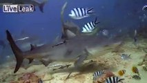 Diving with Sharks at Beqa Lagoon, Fiji