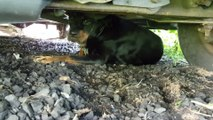 Un homme nourrit à la main un Rottweiler terrifié et mal en point. Pauvre chien