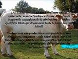 LAS VEGAS - Elevage Metrop (71) - Elevage Charolais
