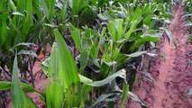 Caterpillars' Clever Trick Enables Them To Eat More Corn Plants