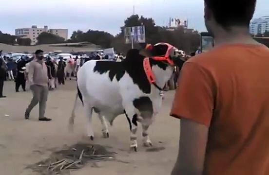 Most Heaviest Bachre Black Beauty Dilpasand Cattle Farm 2015 Bakra Eid
