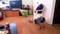 Un petit chien protège sa gamelle d'un gros chien
