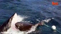 Quand un grand requin blanc attaque un autre grand requin blanc