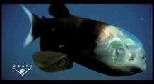 """Découvrez le """"poisson revenant"""" cet étrange poisson des profondeurs à la tête transparente"""