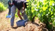 Worldwide Vineyards, Le Greffage de la Vigne - Rendre Vie aux Vignes - Film institutionnel