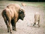 Geyik Hayatının Hatasını Yaptı - Bizona Kafa Tutan geyik öldü