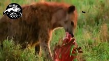 animals fighting to death - hyena hunting buffalo  - wildlife animals attack