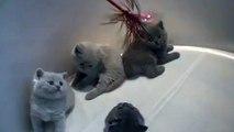 Hermosos Gatitos Jugando ★ humor gatos - video divertido gatos chistosos risa gato