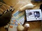 bébé furet vs humain :dans la cuisine gang de furet vs jeune poilu des guiboles