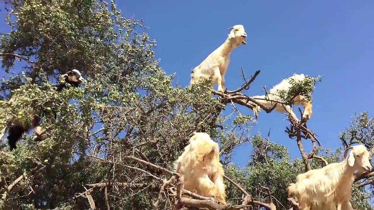 Tree Goats (Original)