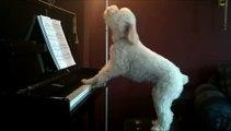Le chien pianiste qui se prenait pour un artiste...