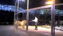 Crazy Animal Huge Siberian tigers fighting in circus