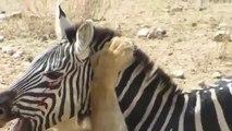 Crazy Animal Lion vs Zebra - Lion kills zebra almost - Lion hunting zebra - Zebra escapes lion kill