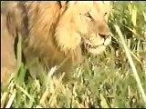 Crazy Animal Lions Hunt and Lions kills Hyena
