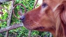 Poulets chien mignon Kursha Réunion bébé pour la première fois Chiens réaction [NEW HD]