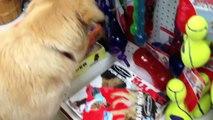 Un golden retriever va faire du shopping pour choisir son premier jouet