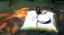 Un canard nourrit des poissons rouges... trop mignon