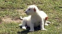 Naissance de deux lions blancs en Corée