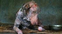 Transformation spectaculaire d'un chien abandonné dans la rue en Inde