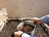 El Liquido de las cáscaras de las Bananas ayudan dando potasio a las plantis