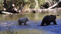 Grizzly Bears at Knight Inlet - mother and cub