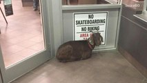 Police 'arrest' stubbon goat for refusing to leave a Tim Hortons