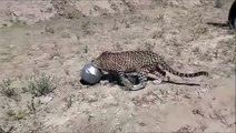 Ce léopard a la tête coincée dans un pot... Le pauvre!