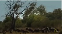 National Geographic Animals - Lion's and Buffaloes The Mortal Enemies - Lions Documentary
