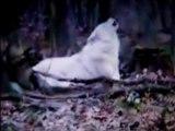 Le chant des Loups
