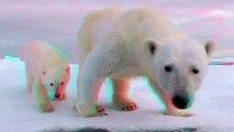 3D Cute Animals Polar Bears (Ursus maritimus) Mum & Baby Polar Bear In 3D Anaglyph
