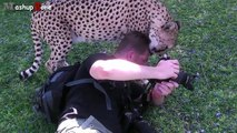 Tigers, Lions And Cheetahs Love To Cuddle Big Cats Compilation