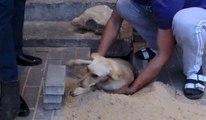 Un passant sauve une chienne enterrée vivante sous un trottoir