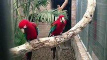 Two red Parrots dance on Hip Hop music on a branch!