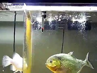 PIRANHA (Red Belly) *VS* Mouse  -Live Feeding-