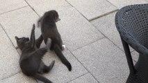 Catfight - Katzen Wrestling und cat breakdance