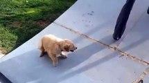 Ce petit chiot labrador n'arrive pas à grimper sur cette rampe de skate... Trop mignon