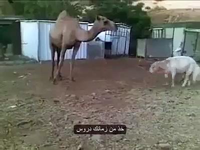 Camel And Sheep,,,,Sheep Runaway