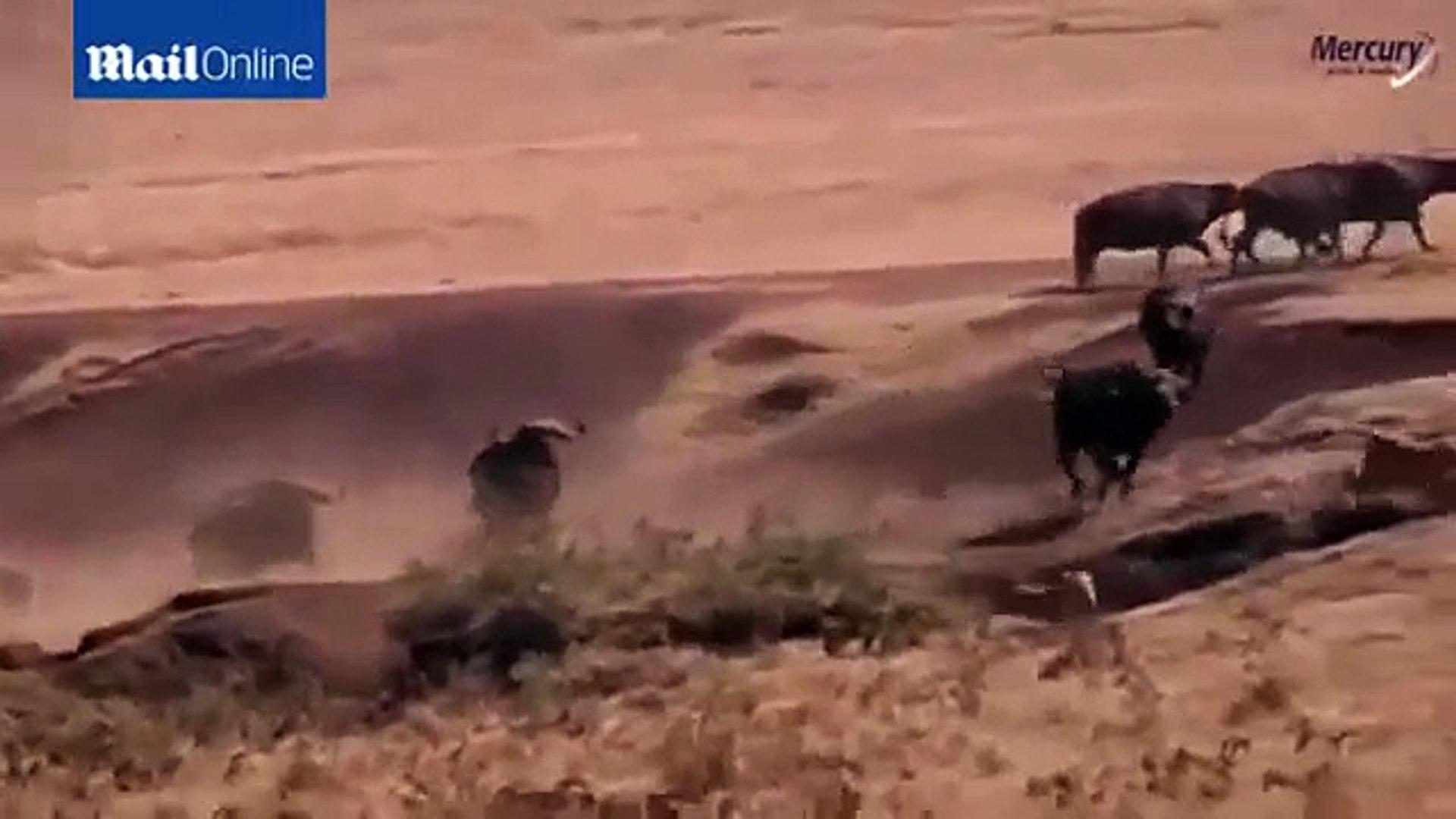 Animal attack 2015 HD ll Buffalo save small tusks of between 3 black hungry