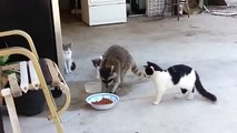 Funny fun with cats insolently Stribro raccoon feed in cats! Fun to watch!