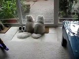 Funny fun with cats like Persian cats funny lick each other's funny to watch!