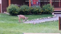 Bambi dans la vraie vie : un faon et un lapin jouent ensemble