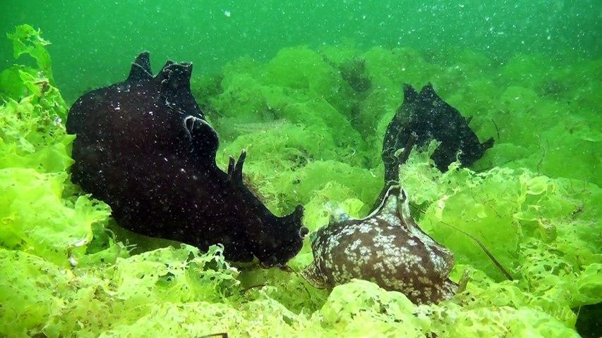 L'habitat de l'hippocampe HD. Seahorse world.