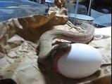 snake eating egg