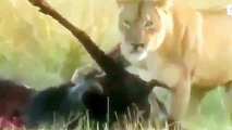 Animal Planet 2015 Discovery Channel Wildlife Animals Lion Documentary