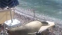 Ce lion de mer s est fait une place bonne place et fait la plus belle sieste