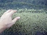 Man puts his hand in thousand baby Crabs Pile!