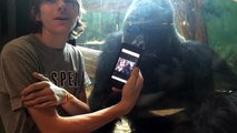 He showed a gorilla photos of other gorillas on his phone. Watch the gorillas reaction!