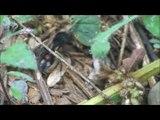 Dasymutilla occidentalis - Formiga-feiticeira - Velvet Ant - Mutillidae