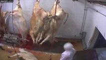EXCLUSIVITÉ Le Point.fr : la saignée des bovins dans l'abattoir d'Alès