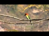 Chestnut-headed bee-eater (Bay-headed bee-eater) at Corbett